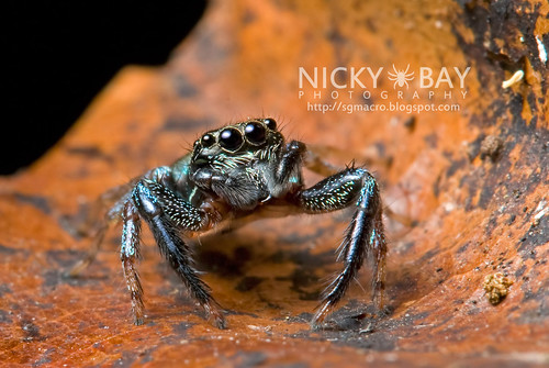 Jumping Spider (Thiania sp.) - DSC_7562 | by nickybay