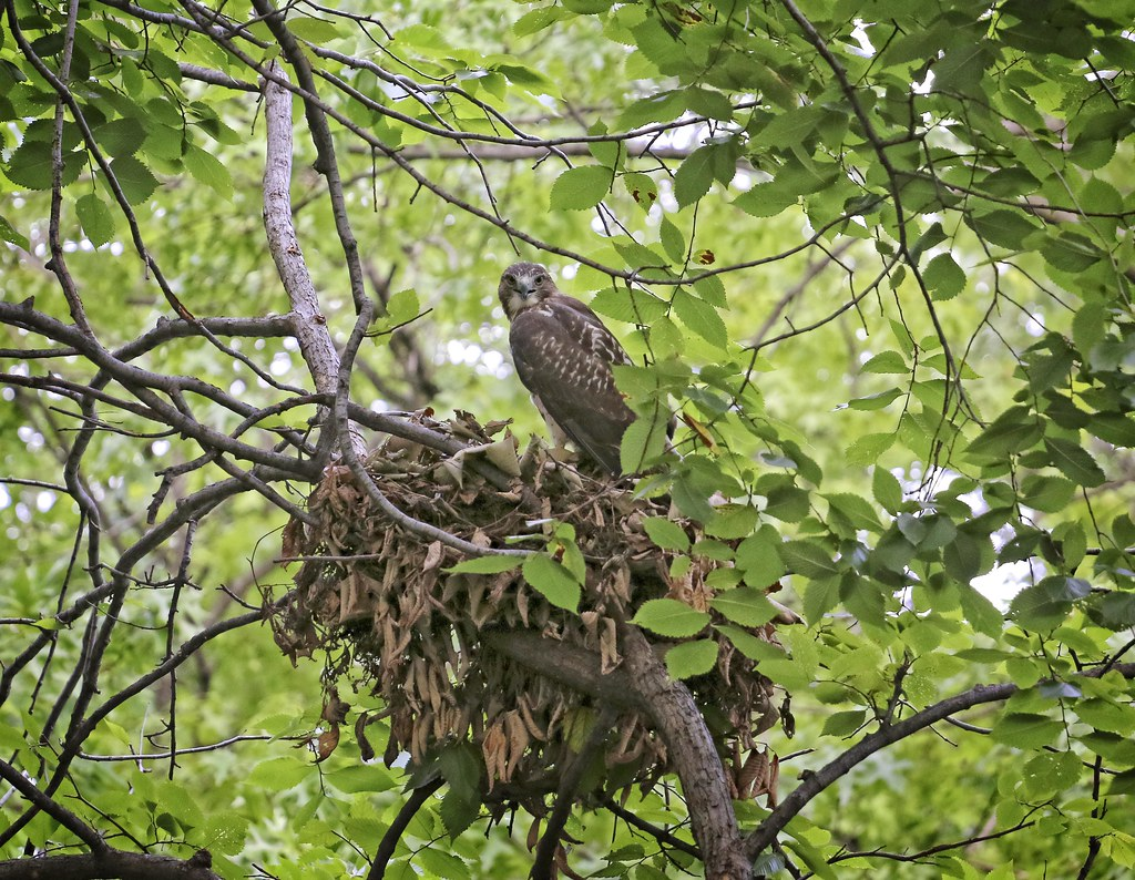 Fledgling hawk on squirrel nest