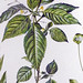 Klein springzaad / Small balsam / Impatiens parvifloira