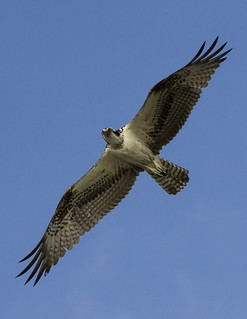 Osprey in flight 1 | by Cliff Collings Photography