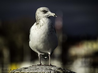 Seagull on a post 2 | by G. Maxwell