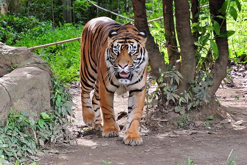 スマトラトラ (Sumatran Tiger)