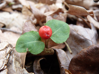 Partridgeberry | by NatureServe