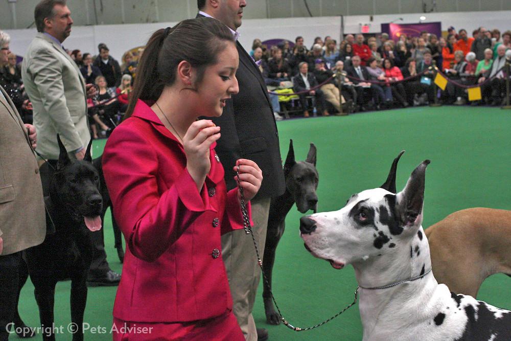 National Dog Show Great Dane