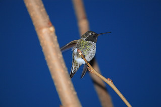 Male Hummingbird - Branch_1225 | by Photog2U