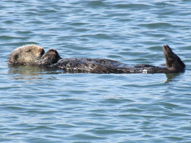 Sea Otter on Elkhorn Slough