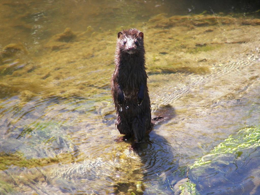Mink at rachel carson national wildlife refuge credit for Maine fish wildlife