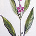 Boksdoorn / Chines boxthorn / Lycium barbarum