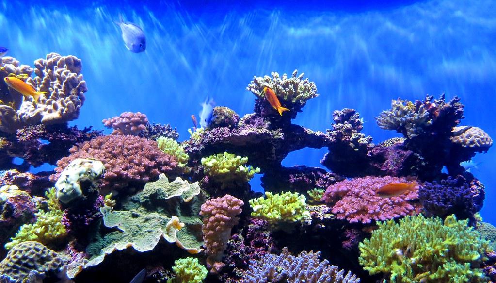 Ybcrf 2b coral reef scrips birch aquarium la jolla - Fotos de peces tropicales ...