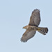 Northern Goshawk Juvenile in Flight