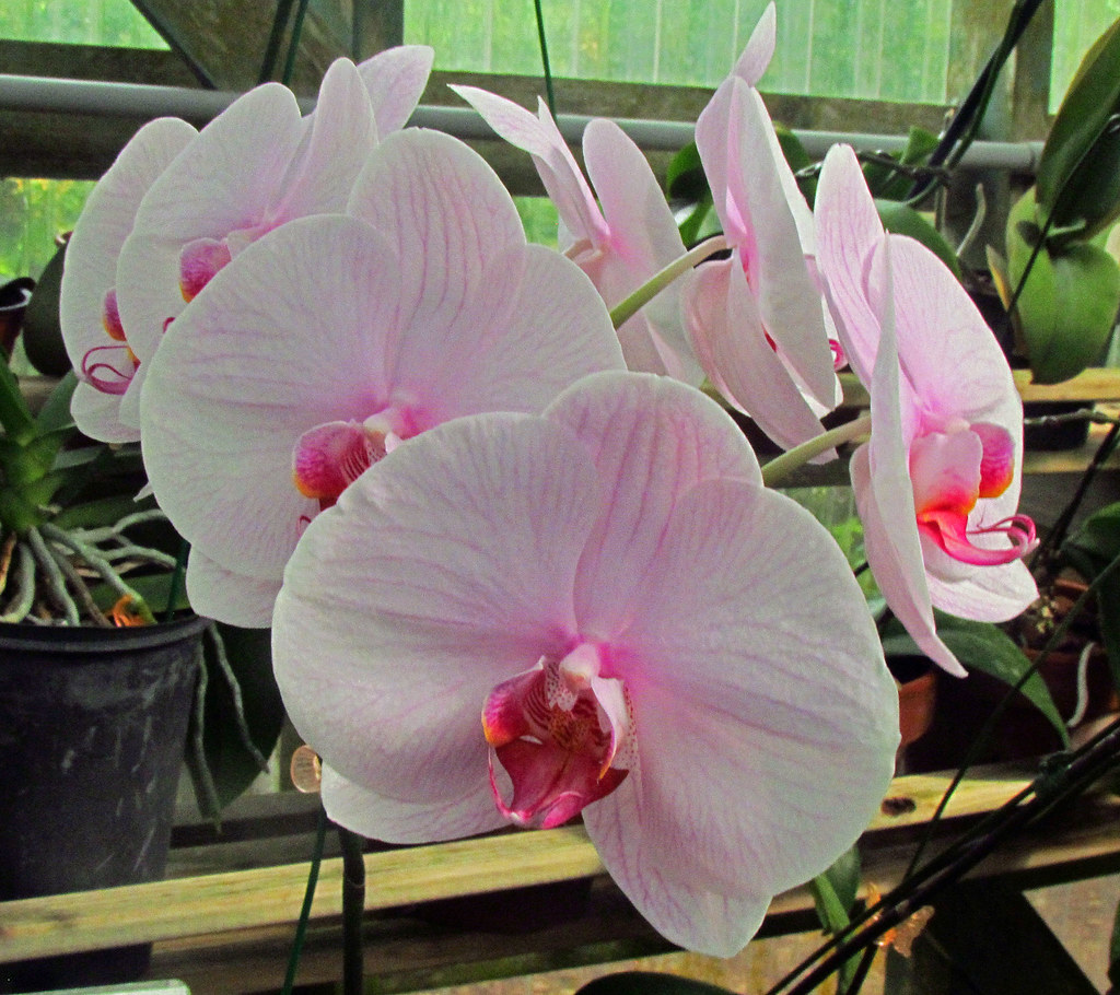 Orchids South Texas Botanical Gardens Corpus Christi Te Flickr