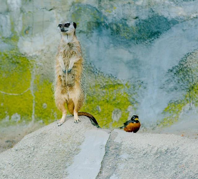 Meerkat_1