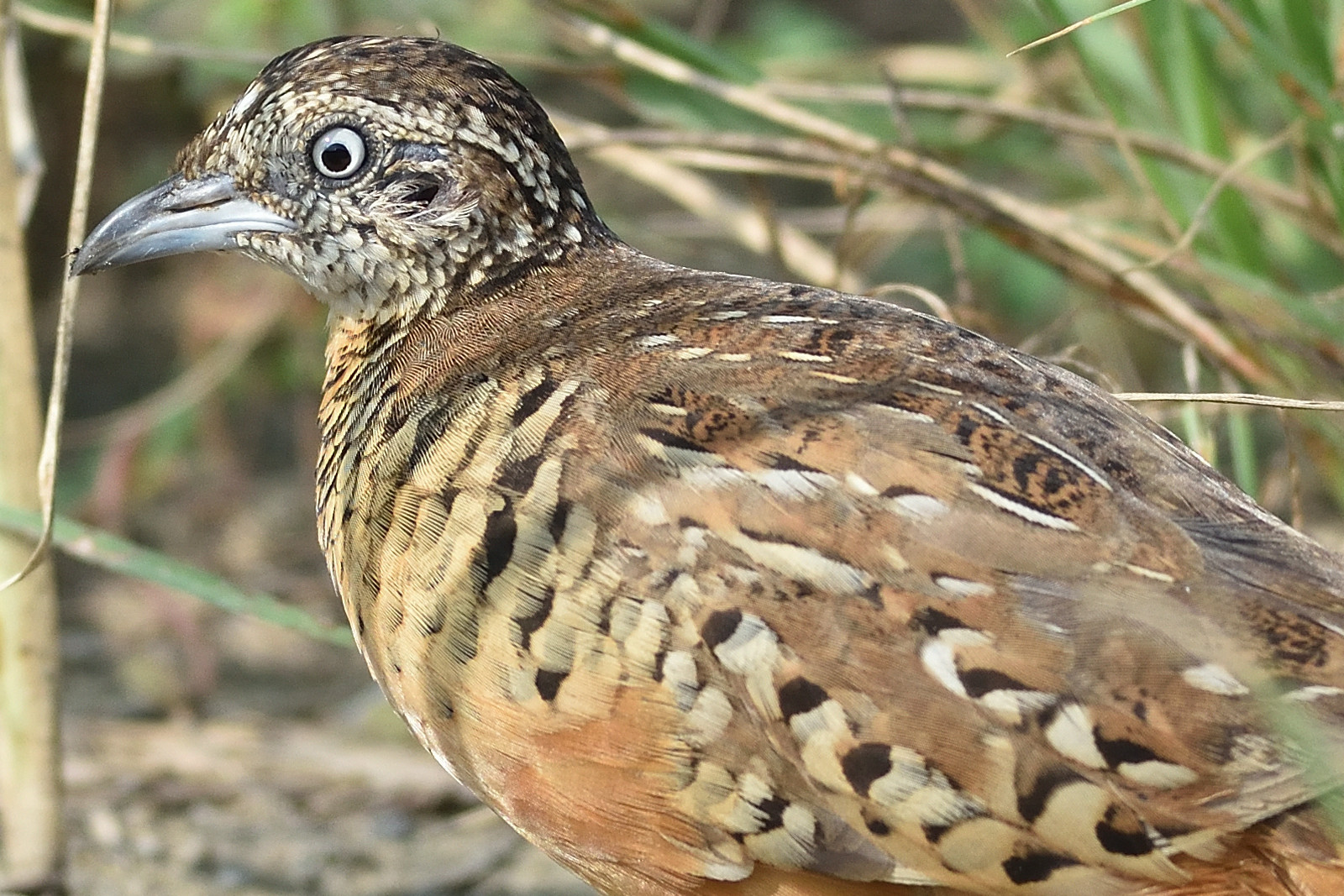 Barred_Butonquail_9451_o