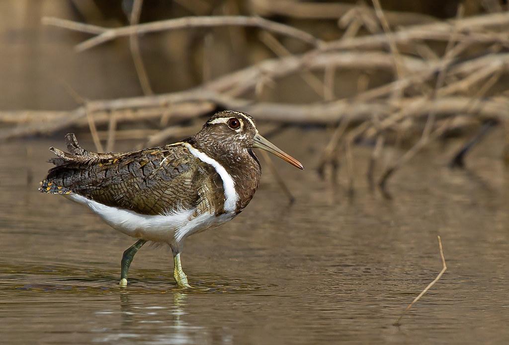 因為濕地消失,使得澳洲彩鷸(Australian painted snipe)數量大幅度減少,被國際自然保護聯盟(IUCN)列為瀕危鳥類。 圖片來源:patrickkavanagh(CC BY-NC 2.0)