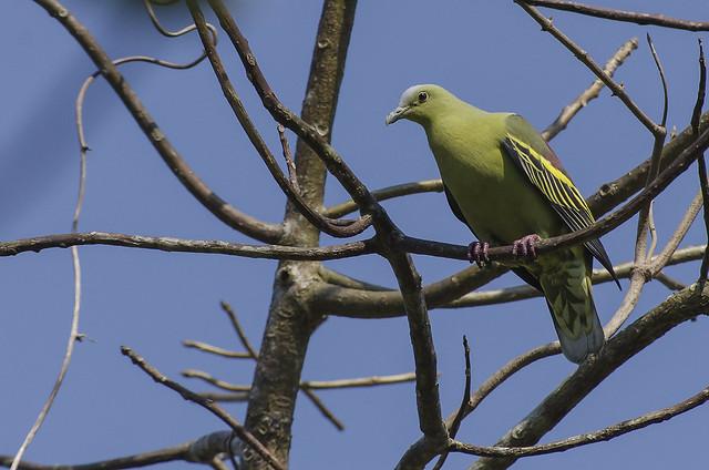 Recent Photos The Commons Galleries World Map App Garden Camera Finder ... Endemic Species Nicobar Pigeon