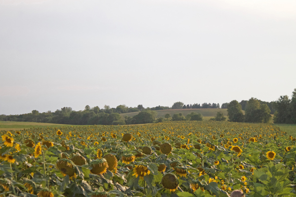 rochester ny sunflower field