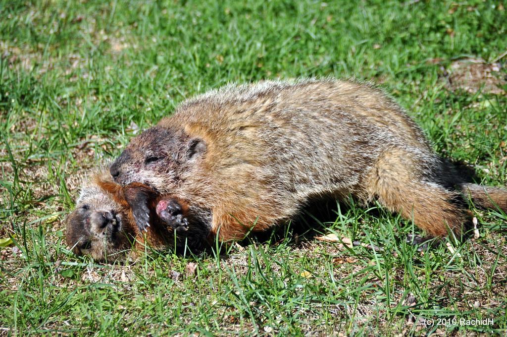 DSC_0190   In My Backyard ~ Marmot ~ Groundhog ~ Woodchuck ...