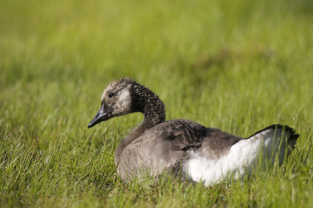 canada goose pour ado