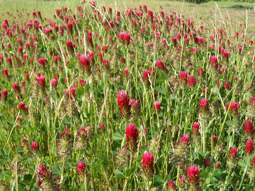 Crimson Clover Flower IGFB9