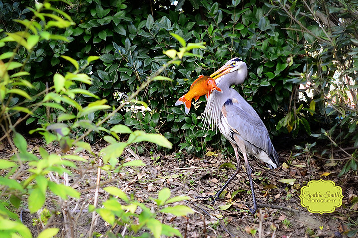 Heron fish pond images for Koi pond protection