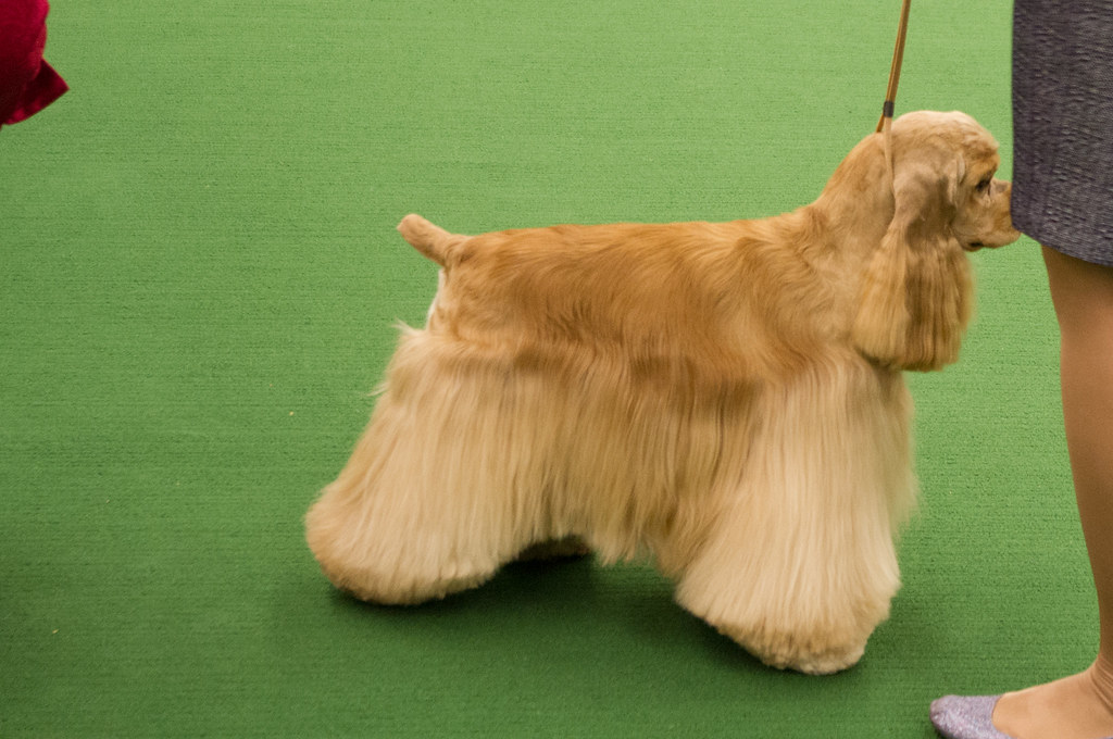 Westminster Dog Show Video