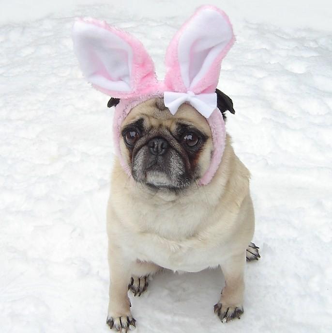 cute pug easter bunny costume dapuglet flickr