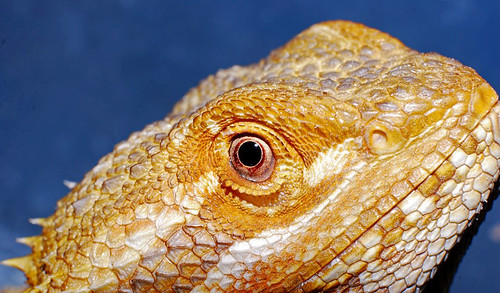 Bearded Dragon | by Felicia McCaulley