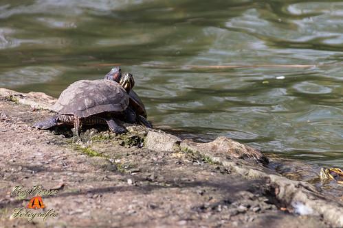 Tortugas en el estanque de los patos en el campo de san fr for Estanque de tortugas