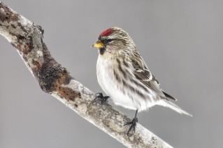 Common Redpoll (Acanthis flammea) | by Bugbait of Seney