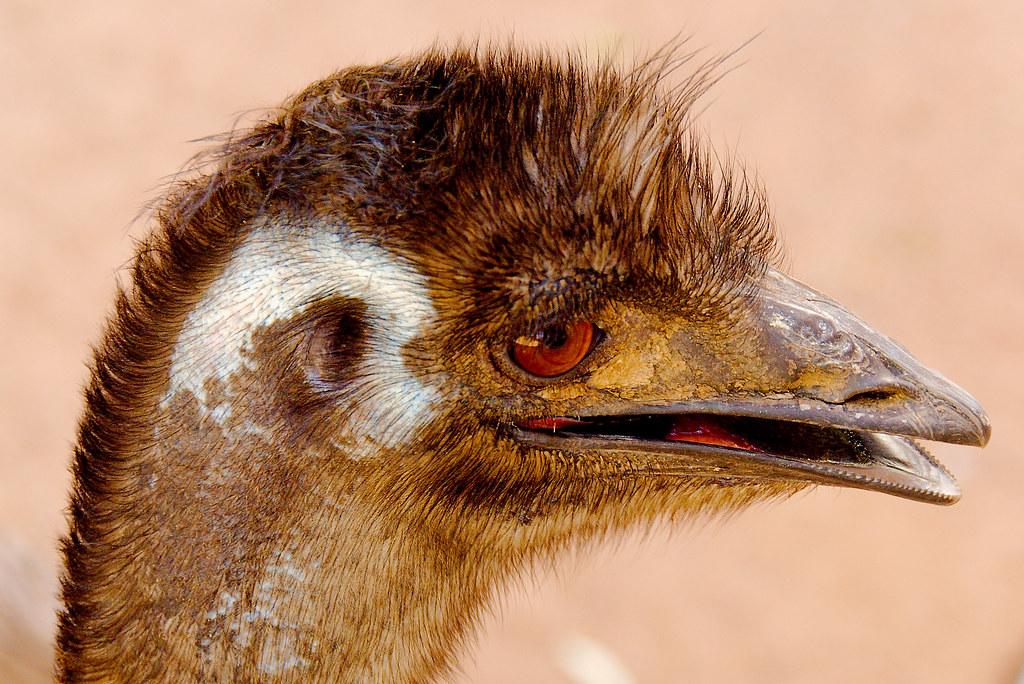 Emu (Dromaius novaehollandiae)_1