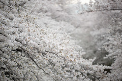 cherry blossoms over the river