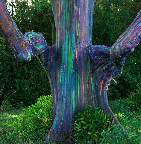 Rainbow Eucalyptus Tree In Hana Hawaii Tanya Flickr