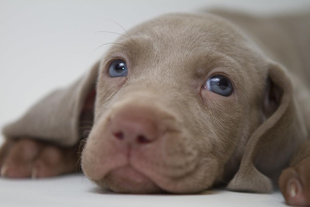 Azure Eyes Dogs