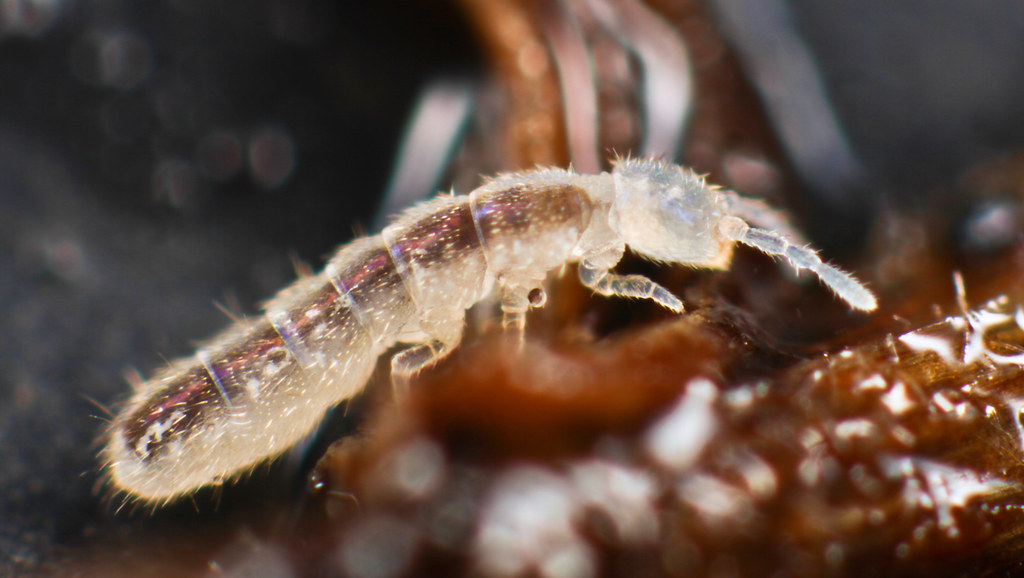 Folsomia candida | This is a big bugger- about 2mm, bigger ... | 1024 x 578 jpeg 116kB