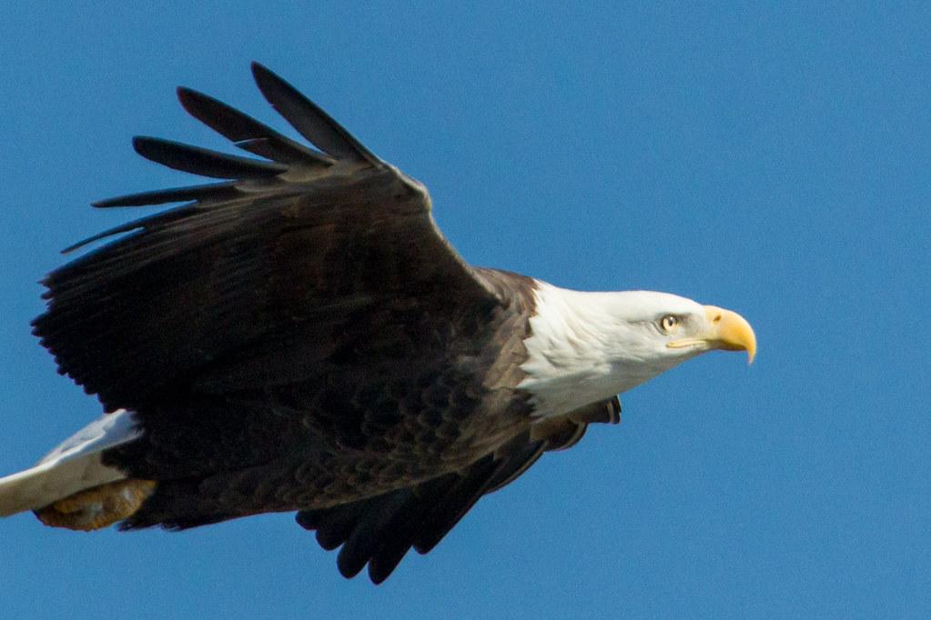 Get Me A Job >> Soaring Eagle | A bald eagle soaring above the crowds at Loc… | Flickr
