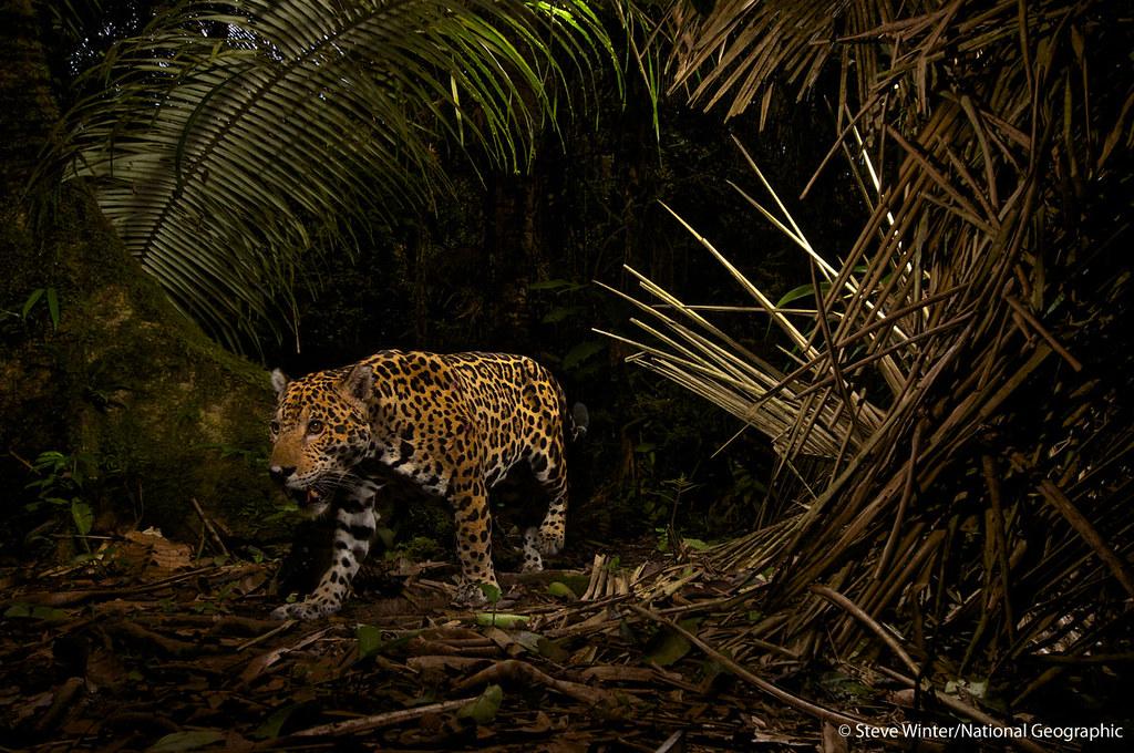 8557339257 as well Colombia in addition Steve Winter furthermore Fotografias De National Geographic En furthermore Conociendoalecuador blogspot. on jaguar yasuni winter