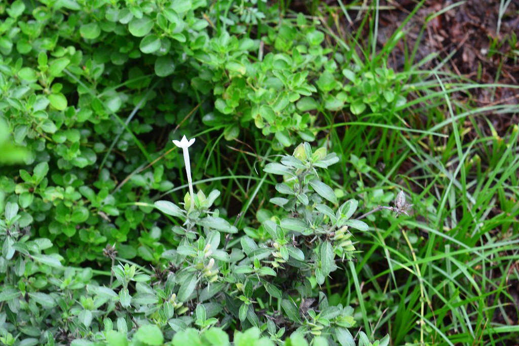 Safed Vajradanti is an important herb to treat oral diseases.