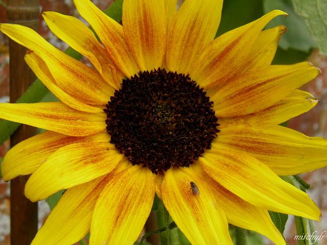 Blush Sunflower