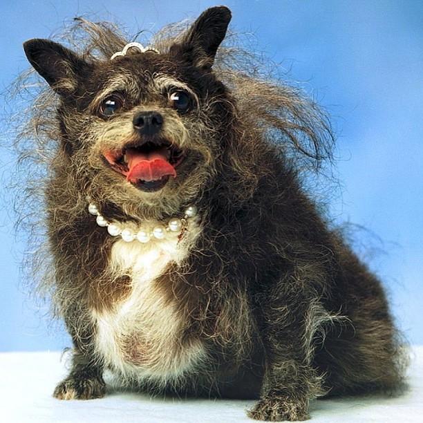 Chien Le Plus Laid eurk eurk eurk! le chien le plus laid au monde! #uglydog #… | flickr