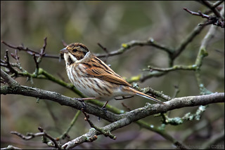 reed bunting ... | by John FotoHouse