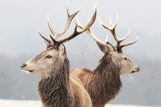 Stags in the snow | by JoshHamUK