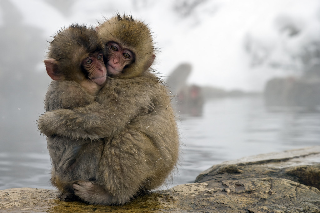 snow monkeys japanese macaque macaca fuscata pair embrac flickr