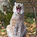 Sitting and yawning II
