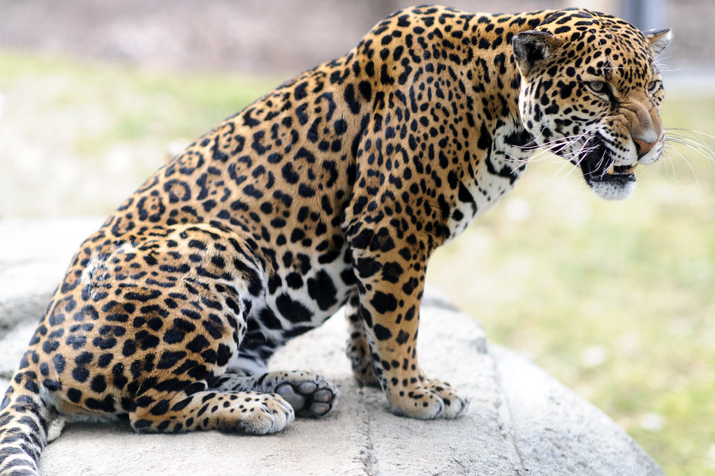 Jaguar Snarling Eric Kilby Flickr