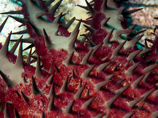 Crown-of-Thorns Starfish - Kailua-Kona, Hawaii | by nervous system