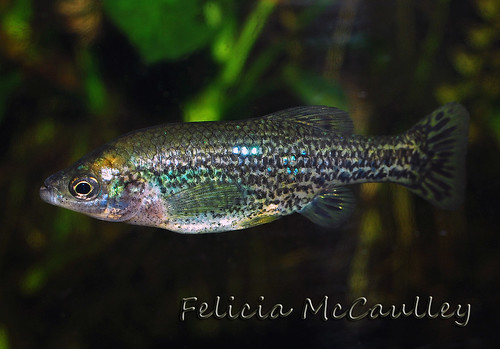 Ameca splendens extinct Goodeid | by Felicia McCaulley