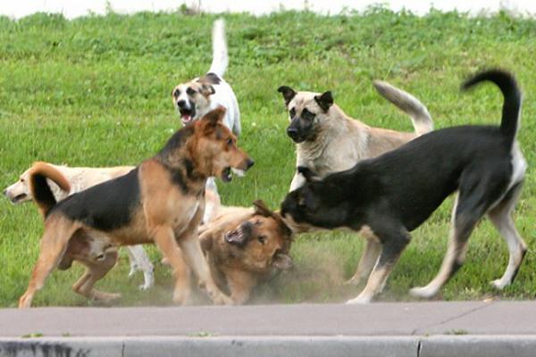 Бродячие собаки, Калининград