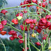 Capsicum baccatum o pimiento campanilla