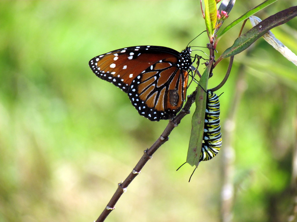 Queen Butterfly, Monarch Caterpillar, and a Tag Along - wh ...