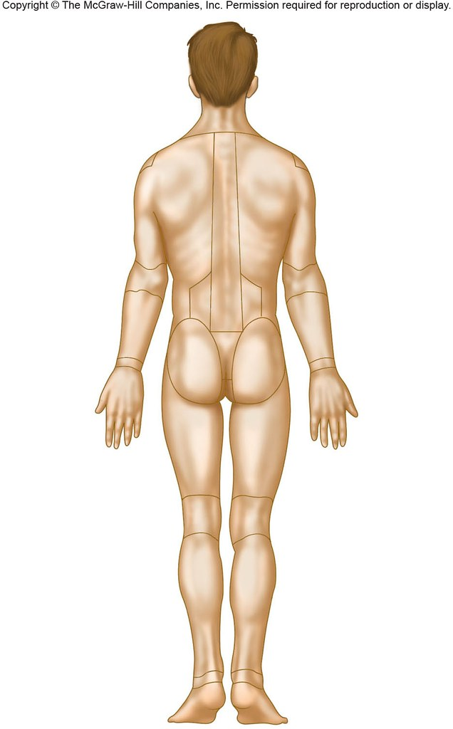 Posterior Body Regions Anatomy Physiology Flickr